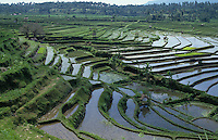 Rice crops on terraces