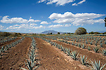Rows of Agave Plants on Jose Cuervo Plantation