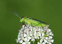 Sawfly - Rhogogaster viridis
