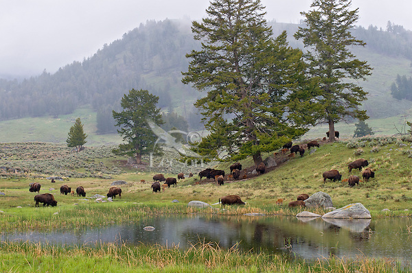Part of a Bison herd feeding near a small pond in Yellowstone's Lamar Valley, Yellowstone National Park, spring.