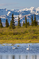 Tundra swans in small tundra pond in the Alaska Range, Interior, Alaska.
