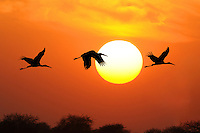 Painted Storks At Sunset - Mycteria leucocephala
