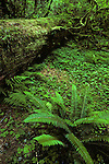 Hoh rain forest moss laden trees lush green foliage Olympic Peninsula Washington State USA