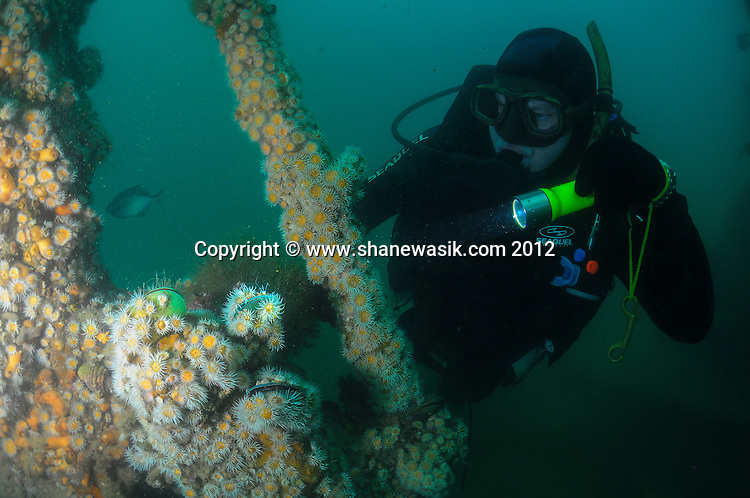 Variable Anemones (Actinothoe albocincta) and Green Lipped Mussel (Perna canaliculus) are attached over the digger wreck structure as the diver is highlighting with his torch.