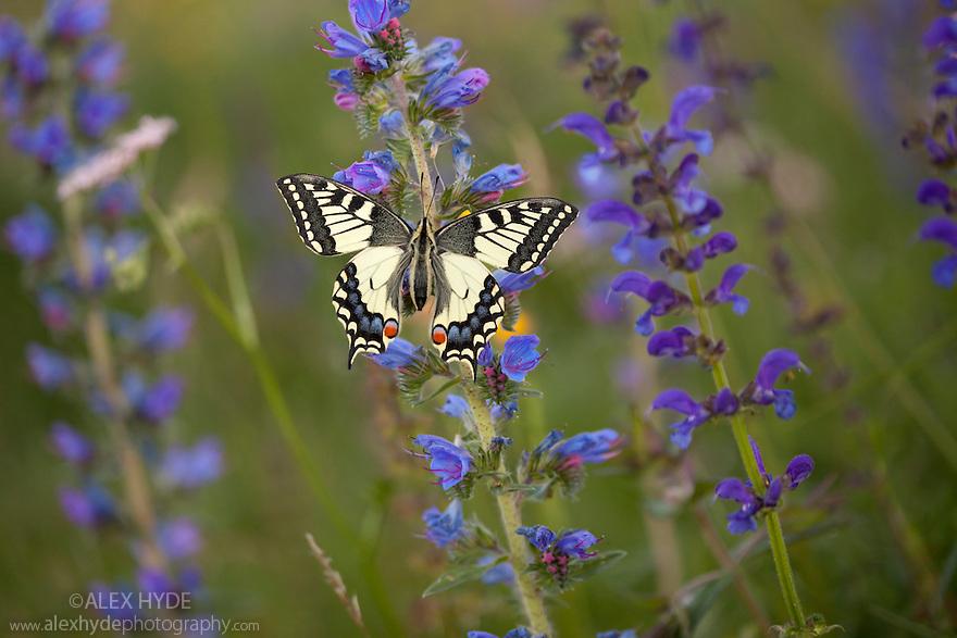 Common Swallowtail butterfly {Papilio machaon} resting on Viper's Bugloss / Blueweed {Echium vulgare} in alpine meadow. Nordtirol, Tirol, Austrian Alps, Austria, 1700 metres altitude, July.