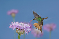 Buff-bellied Hummingbird, Amazilia yucatanenensis, male, Sinton, Coastel Bend, Texas, USA, June 2007
