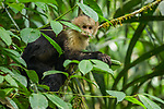 White-headed Capuchin (Cebus capucinus) in tree, Pipeline Road, Gamboa, Panama