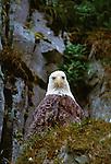 Bald Eagle, Unalaska Island, Alaska