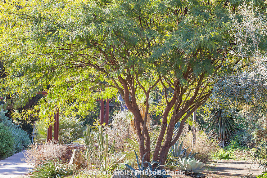 Prosopis chilensis 'Thornless' (Chilean Mesquite) at San Diego Botanic Garden