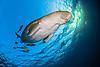 Dugongs & Manatees