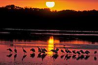 Roseate spoonbills, sunset Florida, Ding Darling NWR.