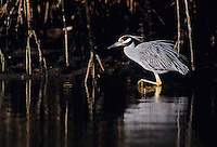 Yellow-crowned Night-Heron, Nyctanassa violacea, adult, Ding Darling National Wildlife Refuge, Sanibel Island, Florida, USA, Dezember 1998