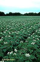 HS05-034b   Potato - field of potato plants in flower