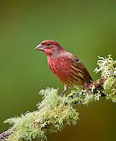 Adult male purple finch perched on a moss and lichen covered branch.<br />