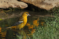 Baltimore Oriole female enjoying a mid-morning bath.