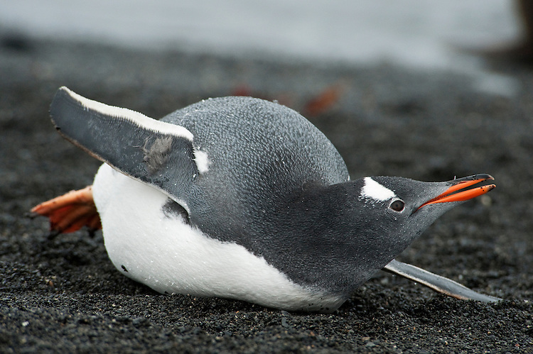 Gentoo Penguin (Pygoscelis papua), lying on its chest, Prion Island, South Georgia