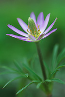 Anemone, Anemone berlandieri, blooming, Lake Corpus Christi, Texas, USA