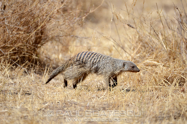 Banded Mongoose (Mungos mungo) Tanzania Africa.