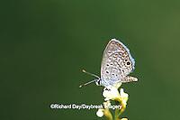 03224-001.12 Ceraunus Blue butterfly (Hemiargus ceraunus) near Mission TX