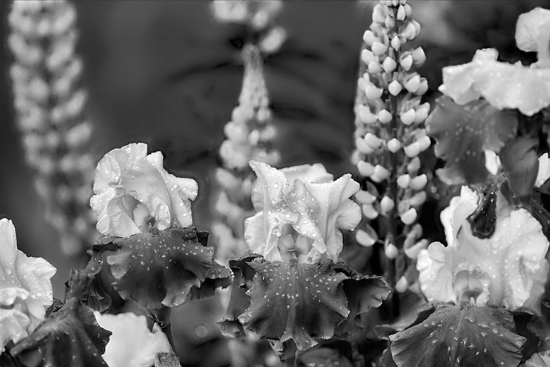 Close up of lupine and iris (Over Alaska). Schneider's Gardens. Oregon
