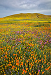 Antelope Valley, California: Poppies, coreopsis and lupine blooming in fields near Lancaster, Los Angeles County, Mojave Desert