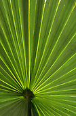 Brazil.  Translucent palm leaf.