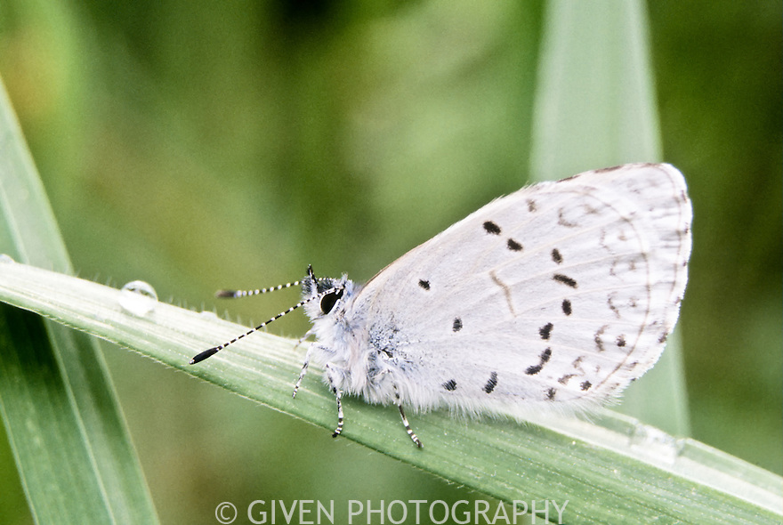 Spring Azure Butterfly, Olympic National Park, Washinigton