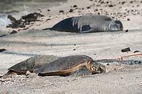 two green sea turtles, Chelonia mydas, basking on beach near a resting Hawaiian monk seal, Neomonachus schauinslandi ( Critically Endangered ), Pu'uhonua o Honaunau ( City of Refuge ) National Historical Park, Kona, Hawaii ( the Big Island ) Hawaiian Islands, USA,
