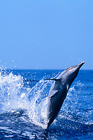 pantropical spotted dolphin, Stenella attenuata, leaping, Kona, Big Island, Hawaii, Pacific Ocean