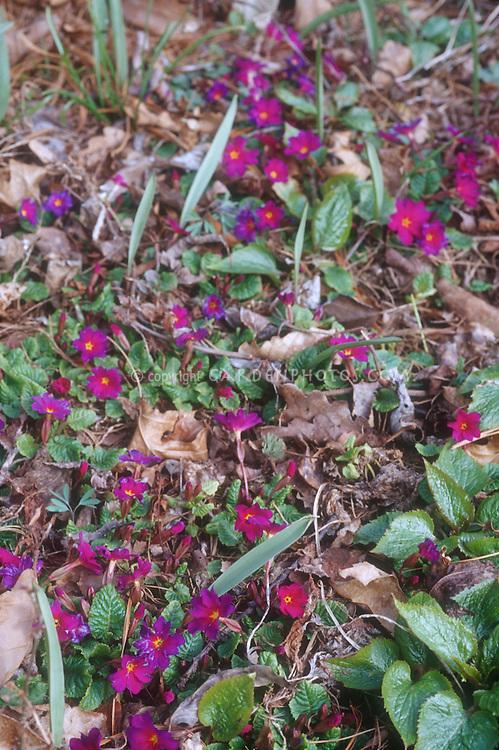 Primula juliae, mat forming relative of Primula vulgaris primroses