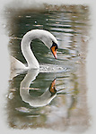 Swan head and neck with it's beak dripping water. The swan's reflection is mirrored in the water