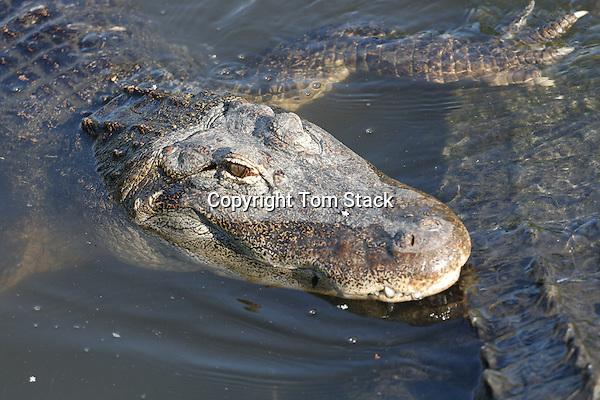 American alligator in courtship, breeding behavior