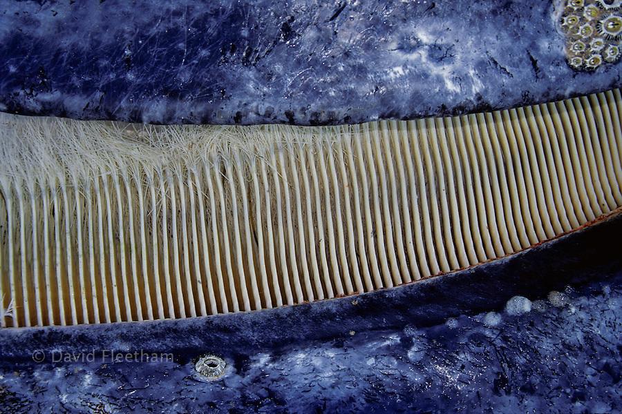 A close look at the baleen of a gray whale, Eschrichtius robustus. San Ignacio Lagoon, Mexico.