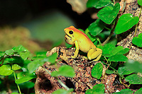 Black-legged poison frog, bicolored dart frog or neari  (Phyllobates bicolor) with throat pouch, adult, alert, found in South America, captive