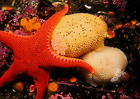 Pacific Northwest underwater Sea Stars