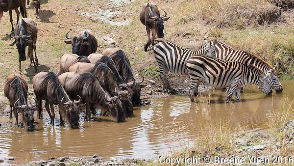 Wildebeast Zebra Drinking  Kenya 2015