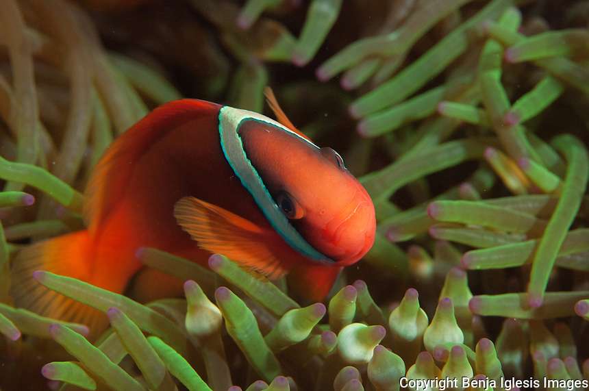 A small clown fish moving over tentacles of anemone at Keramas Islands Okinawa Japan.