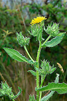 BRISTLY OXTONGUE Picris echioides (Asteraceae) Height to 80cm. Branched and upright annual or biennial. Stems are covered in stiff bristles. Grows in dry grassland and disturbed ground. FLOWERS are borne in heads, 20-25mm across, with pale yellow florets; carried in open clusters (Jun-Oct). FRUITS have feathery hairs. LEAVES are oblong, the upper ones clasping; covered in swollen-based bristles and pale spots. STATUS-Locally common in S Britain but scarce elsewhere.
