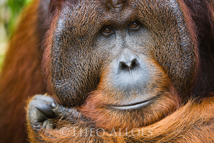 Dominant male orangutan, portrait, (Pongo pygmaeus), endangered species due to loss of habitat, spread of oil palm plantations, Tanjung Puting National Park, Borneo, East Kalimantan,