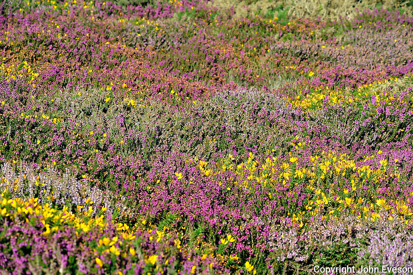 Heather and gorse, Anglesey...Copyright..John Eveson, Dinkling Green Farm, Whitewell, Clitheroe, Lancashire. BB7 3BN.01995 61280. 07973 482705.j.r.eveson@btinternet.com.www.johneveson.com