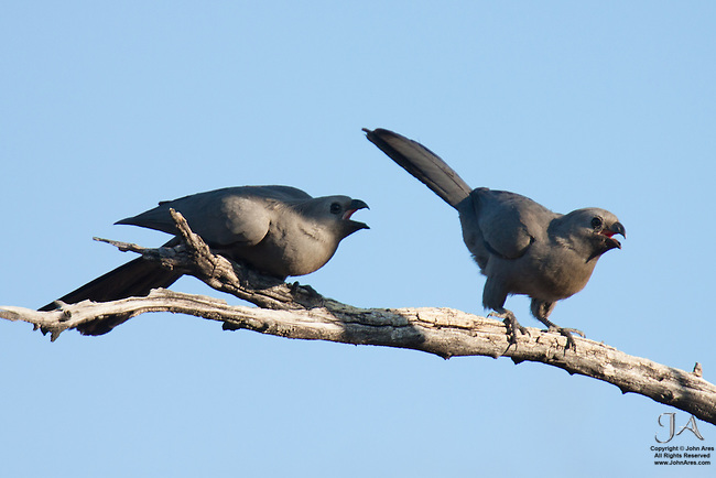 Two Grey Go-Away Birds cackling to each other in a tree in Namibia.  Hilarious shot.