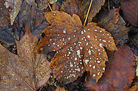 Berg-Ahorn, Bergahorn, Ahorn, im Herbst, Herbstlaub, Blatt, Blätter, Acer pseudoplatanus, Sycamore, Erable sycomore, autumn