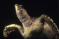 Underneath a Hawksbill turtle<br /> at night<br /> Virgin Islands