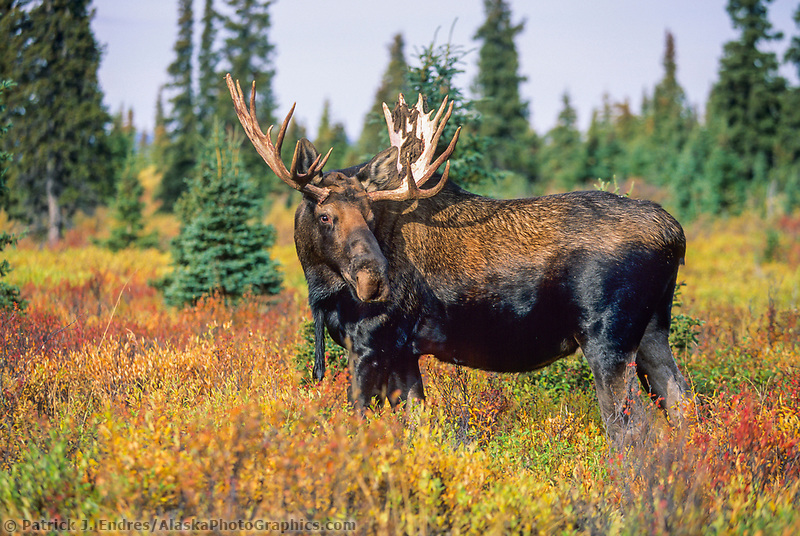 Bull Moose in colorful autumn tundra, Denali National Park, Alaska