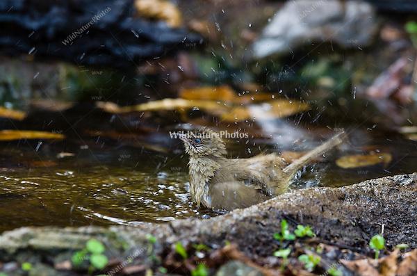 The Streak-eared Bulbul (Pycnonotus blanfordi) at a watering hole. (Kaeng Krachan, Thailand)