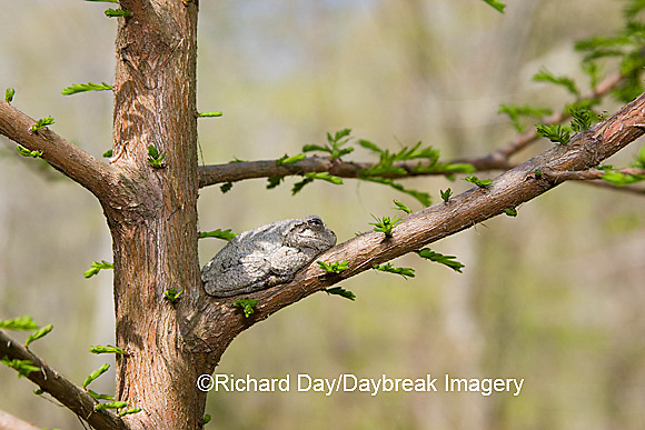 02449-005.01 Gray Treefrog (Hyla versicolor) on Bald cypress tree, Little Black Slough, Cache River SNA, IL