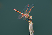 362800016 a wild female variegated meadowhawk sympetrum corruptum perches on a dead cattail at a pond in black rock springs in southern inyo county california united states