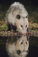 Virginia Opossum, Didelphis virginiana, adult at night drinking, Uvalde County, Hill Country, Texas, USA
