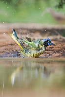 551110051 a wild green jay cyanocorax yncas bathes in a small pond in the rio grande valley of south texas