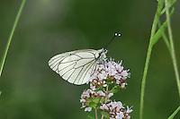 Black-veined White - Aporia crategi
